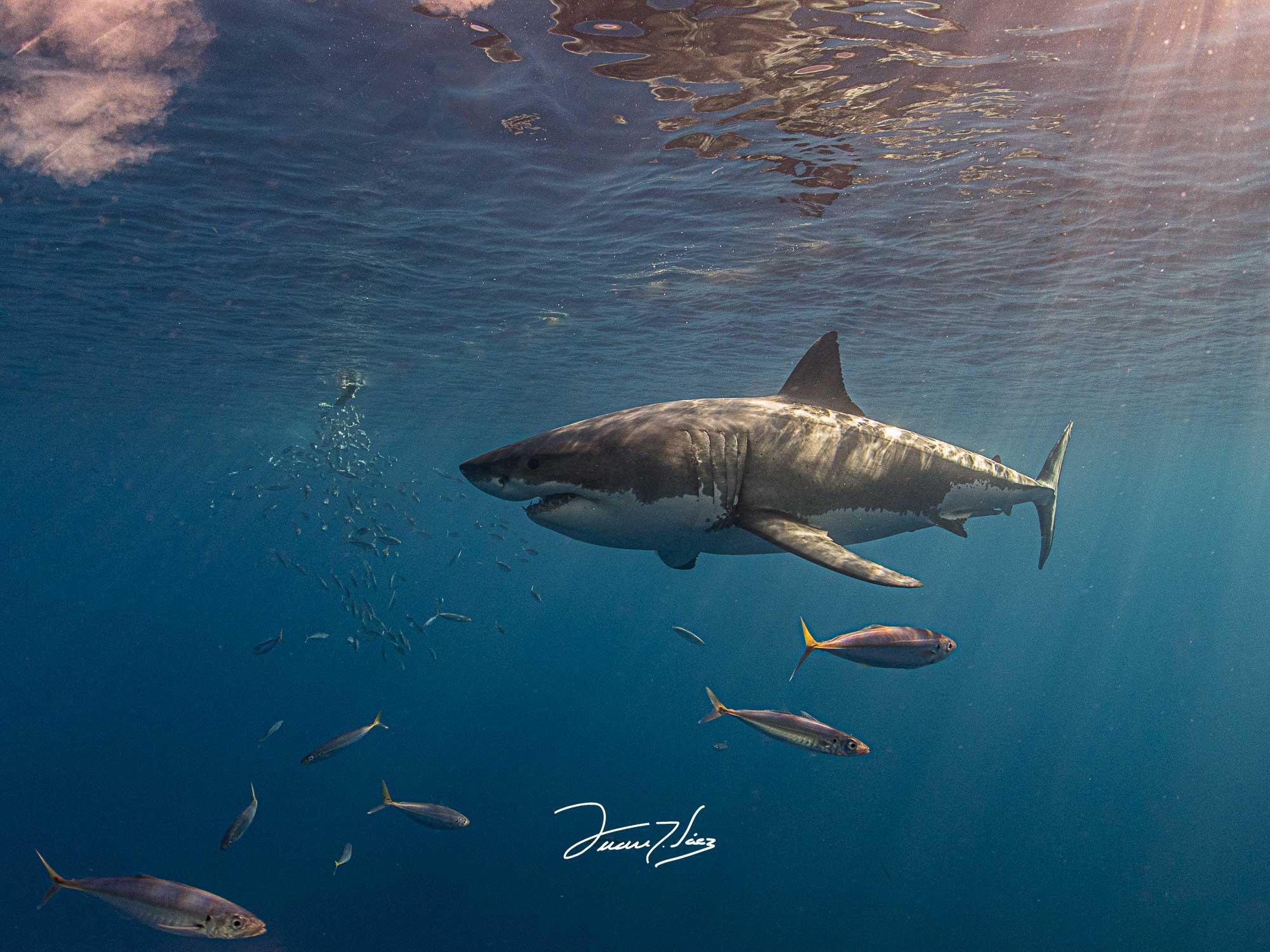 Tiburón blanco curso fotografía submarina