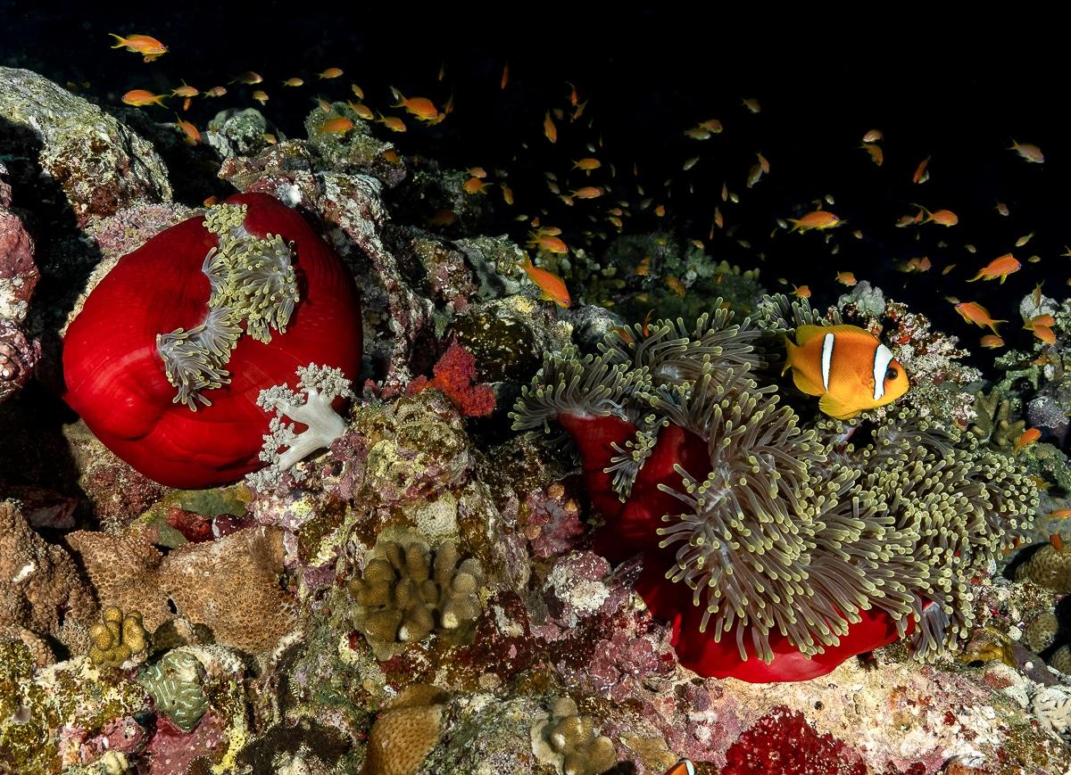 Anemona nocturna Sudan